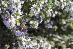 The bee feeds on the thyme flower while pollinating royalty free stock photo