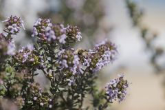 The bee feeds on thyme flowers. Thyme with flowers, bee feeds on the nectar of this plant Royalty Free Stock Images