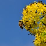 Bee on fennel flowers covered of small flies. Fennel flowers with small insects Stock Images