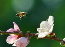 Bee on final approach. An image of a bee on final approach to a flower stock photography