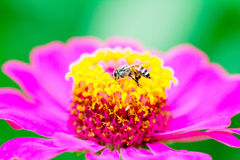 Bee find sweet water. On violet flower Stock Photos