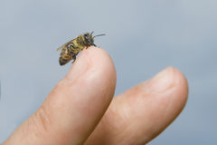 Bee on a finger. Closeup of a bee on a finger Royalty Free Stock Image