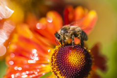 Bee on a Fire Rudbeckia flower (macro view)... High quality macro photo of a honeybee working on a garden Fire Rudbeckia flower. Bright warm colors, bokeh Stock Photo