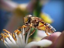 bee flawer Στοκ Φωτογραφία