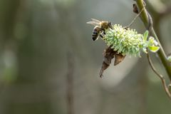 Bee flies from blossom to blossom. A bee flies from blossom to blossom royalty free stock photo