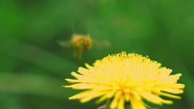Bee flies with dandelion. Bee collects pollen from a dandelion stock footage
