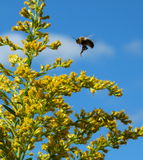 Bee flies from flower to flower feeding on pollen Royalty Free Stock Images