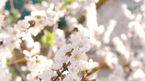 The bee flies on a flowering tree with white flowers in the rays of the sun. The bee flies on a flowering tree with white flowers in the sun. Spring sun stock video footage