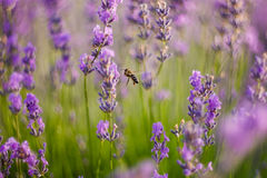 Bee flies in lavender Stock Photography