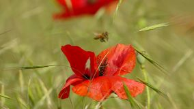 The bee flies over the poppy flower. Slow motion. stock footage