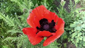 Bee flies over red poppy. Close-up stock video