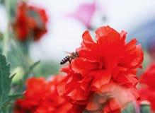 Bee flies in the summer garden over a bright scarlet poppy flow stock photos