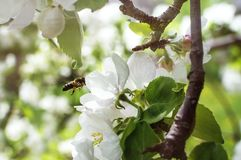The bee flies to the apple blossom for pollination. Close-up, selective focus. The concept of a spring blooming garden. The bee flies to the apple blossom for stock photography