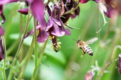 Bee flies to the blossom of a columbine flower. Bee animal insect fly blossom columbine Flower Purple blossom forest stock photo