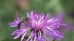 Bee  flies to the brown knapweed flower, slow motion