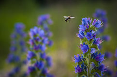 The bee flies to collect nectar. The bee flies to collect nectar from blue flowers stock images