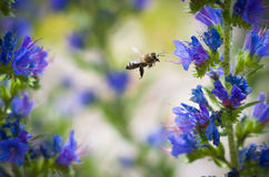The bee flies to collect nectar. The bee flies to collect nectar from blue flowers Stock Image