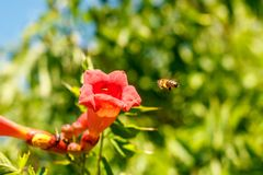 Bee flies to the flower for nectar stock image