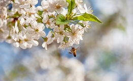 The bee flies to the flowers on the cherry tree in spring on a blurry colored background. The horizontal frame stock photography