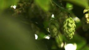 Closeup of green cones hops stock video