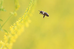 Bee flies to the yellow flowers of sweet clover for nectar Stock Photos