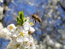 The bee flies up to the white flowers, the blooming apple tree and looks into the camera.. Anthophila, Apis mellifera. The bee flies up to the white flowers, the stock photos