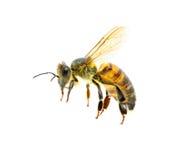Bee in flight stock image