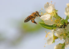 Bee in Flight Stock Images