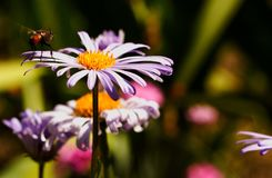 Bee in flight along the flowers. Nature insect in movement Royalty Free Stock Image