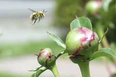 Bee in flight approach. Bee coming in for a landing on a blossoming peony in the garden in early summer stock photos