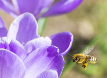 Bee in Flight Royalty Free Stock Photography