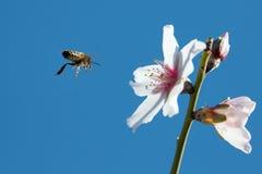 Bee In Flight Royalty Free Stock Photo