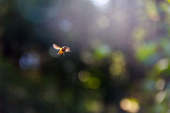 Bee in flight stock image