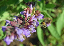 Bee in flight. Bee hovering near sage flowers Stock Images