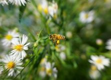 Bee in the flight Royalty Free Stock Images
