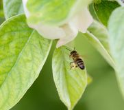 Bee in flight in nature. macro Royalty Free Stock Images