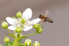 Bee in flight on nature. stock photo