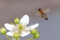 Bee in flight on nature. stock images