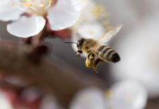 Bee in flight in nature royalty free stock image