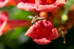 Bee in flight near the red flower Royalty Free Stock Photos
