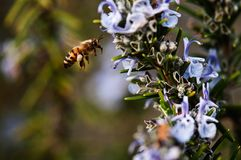 Bee in flight with the pollen collected on the legs royalty free stock images