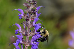 Bee in Flight. With Purple Flowers and dramatic lighting Royalty Free Stock Photos