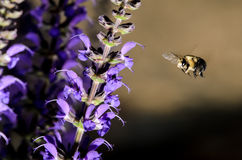 Bee in Flight. With Purple Flowers and dramatic lighting Stock Photo