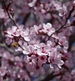 Bee in flight. Springtime bee pollinating ornamental plum tree blossoms Royalty Free Stock Images