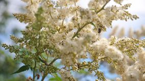 Bee flight. various insects pollinating blooming yellow-white flowers on a branch. close-up. bees collect honey from
