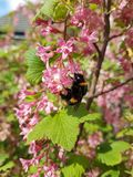 Bee, Flora, Spring, Pollinator royalty free stock images