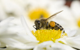 Bee on flower. Closeup of a bee on white flower Royalty Free Stock Photos