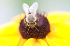 Bee on a flower. Bee on a yellow flower Royalty Free Stock Images