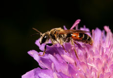Bee on a flower. A close up Stock Image