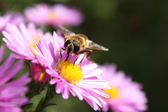 Bee on a flower. Honey bee on a flower of pink chrysanthemums Stock Photography